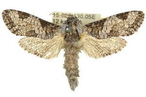 (Endoxyla polyploca - 10ANIC-09422)  @15 [ ] CreativeCommons - Attribution Non-Commercial Share-Alike (2010) CSIRO/BIO Photography Group Centre for Biodiversity Genomics