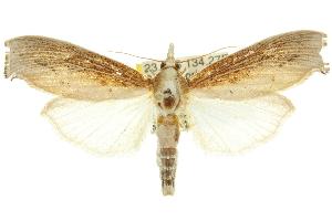 (Galleristhenia - 10ANIC-09818)  @15 [ ] CreativeCommons - Attribution Non-Commercial Share-Alike (2010) CSIRO/BIO Photography Group Centre for Biodiversity Genomics