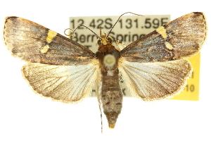 (Boeotarcha - 10ANIC-09881)  @15 [ ] CreativeCommons - Attribution Non-Commercial Share-Alike (2010) CSIRO/BIO Photography Group Centre for Biodiversity Genomics