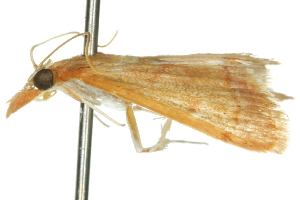 (Trigonoorda rhodea - 10ANIC-09920)  @13 [ ] CreativeCommons - Attribution Non-Commercial Share-Alike (2010) CSIRO/BIO Photography Group Centre for Biodiversity Genomics
