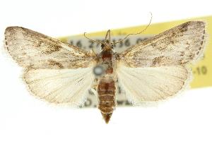 (Trigonoorda psarochroa - 10ANIC-10083)  @11 [ ] CreativeCommons - Attribution Non-Commercial Share-Alike (2010) CSIRO/BIO Photography Group Centre for Biodiversity Genomics