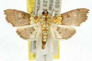 (Agrotera longitabulata - 10ANIC-10226)  @14 [ ] CreativeCommons - Attribution Non-Commercial Share-Alike (2010) CSIRO/BIO Photography Group Centre for Biodiversity Genomics