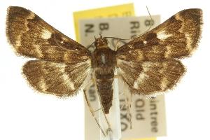 (Piletocera meekii - 10ANIC-10242)  @15 [ ] CreativeCommons - Attribution Non-Commercial Share-Alike (2010) CSIRO/BIO Photography Group Centre for Biodiversity Genomics