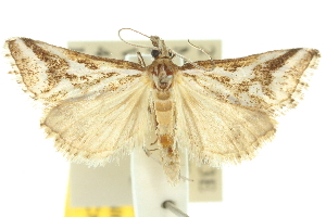 ( - 10ANIC-10304)  @15 [ ] CreativeCommons - Attribution Non-Commercial Share-Alike (2010) CSIRO/BIO Photography Group Centre for Biodiversity Genomics