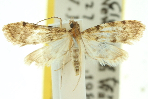 (Voliba pycnosticta - 10ANIC-10388)  @11 [ ] CreativeCommons - Attribution Non-Commercial Share-Alike (2010) CSIRO/BIO Photography Group Centre for Biodiversity Genomics