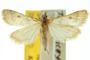 (Metasia homogama - 10ANIC-10412)  @15 [ ] CreativeCommons - Attribution Non-Commercial Share-Alike (2010) CSIRO/BIO Photography Group Centre for Biodiversity Genomics