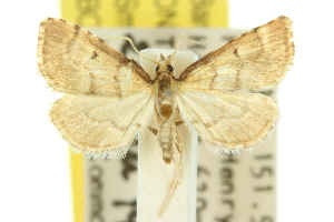 (Myriostephes haplodes - 10ANIC-10466)  @14 [ ] CreativeCommons - Attribution Non-Commercial Share-Alike (2010) CSIRO/BIO Photography Group Centre for Biodiversity Genomics