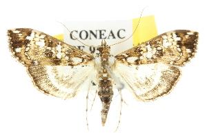 (Dysallacta sp. ANIC1 - 10ANIC-10538)  @14 [ ] CreativeCommons - Attribution Non-Commercial Share-Alike (2010) CSIRO/BIO Photography Group Centre for Biodiversity Genomics
