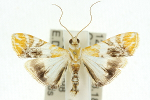 (Macaretaera hesperis - 10ANIC-10624)  @15 [ ] CreativeCommons - Attribution Non-Commercial Share-Alike (2010) CSIRO/BIO Photography Group Centre for Biodiversity Genomics
