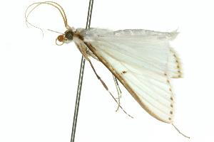 (Cydalima diaphanalis - 10ANIC-10634)  @14 [ ] CreativeCommons - Attribution Non-Commercial Share-Alike (2010) CSIRO/BIO Photography Group Centre for Biodiversity Genomics