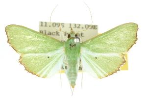 (Parotis suralis - 10ANIC-10680)  @15 [ ] CreativeCommons - Attribution Non-Commercial Share-Alike (2010) CSIRO/BIO Photography Group Centre for Biodiversity Genomics