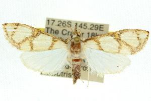 (Cirrhochrista caconalis - 10ANIC-10765)  @14 [ ] CreativeCommons - Attribution Non-Commercial Share-Alike (2010) CSIRO/BIO Photography Group Centre for Biodiversity Genomics