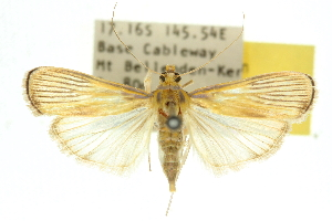 (Tyspanodes creaghi - 10ANIC-10838)  @15 [ ] CreativeCommons - Attribution Non-Commercial Share-Alike (2010) CSIRO/BIO Photography Group Centre for Biodiversity Genomics