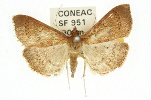 (Syllepte phricosticha - 10ANIC-10861)  @15 [ ] CreativeCommons - Attribution Non-Commercial Share-Alike (2010) CSIRO/BIO Photography Group Centre for Biodiversity Genomics