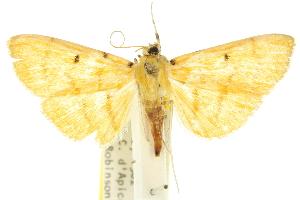 (Orthospila orissusalis - 10ANIC-10929)  @15 [ ] CreativeCommons - Attribution Non-Commercial Share-Alike (2010) CSIRO/BIO Photography Group Centre for Biodiversity Genomics