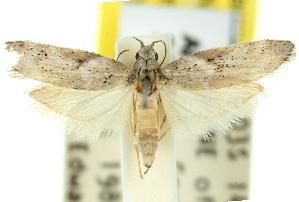 (Mecistophylla - 11ANIC-00589)  @15 [ ] CreativeCommons - Attribution Non-Commercial Share-Alike (2011) CSIRO/BIO Photography Group Centre for Biodiversity Genomics