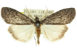 (Lathraeolis - 11ANIC-00699)  @15 [ ] CreativeCommons - Attribution Non-Commercial Share-Alike (2011) CSIRO/BIO Photography Group Centre for Biodiversity Genomics