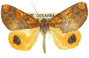 (Larophylla - 11ANIC-00878)  @15 [ ] CreativeCommons - Attribution Non-Commercial Share-Alike (2011) CSIRO/BIO Photography Group Centre for Biodiversity Genomics