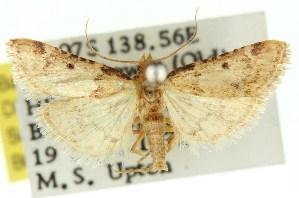 (Pyralis caustica - 11ANIC-01768)  @14 [ ] CreativeCommons - Attribution Non-Commercial Share-Alike (2011) CSIRO/BIO Photography Group Centre for Biodiversity Genomics