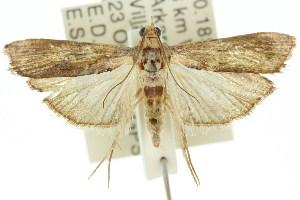 (Morosaphycita oculiferella - 11ANIC-02060)  @15 [ ] CreativeCommons - Attribution Non-Commercial Share-Alike (2011) CSIRO/BIO Photography Group Centre for Biodiversity Genomics