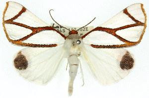 (Thalaina - 11ANIC-02164)  @15 [ ] CreativeCommons - Attribution Non-Commercial Share-Alike (2011) CSIRO/BIO Photography Group Centre for Biodiversity Genomics