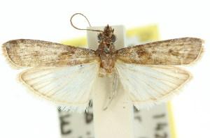 (Faveria sp. ANIC1 - 11ANIC-02320)  @13 [ ] CreativeCommons - Attribution Non-Commercial Share-Alike (2011) CSIRO/BIO Photography Group Centre for Biodiversity Genomics