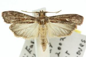 (Ptyomaxia syntaractis - 11ANIC-02343)  @14 [ ] CreativeCommons - Attribution Non-Commercial Share-Alike (2011) CSIRO/BIO Photography Group Centre for Biodiversity Genomics