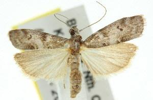(Ptyomaxia metasarca - 11ANIC-02358)  @14 [ ] CreativeCommons - Attribution Non-Commercial Share-Alike (2011) CSIRO/BIO Photography Group Centre for Biodiversity Genomics
