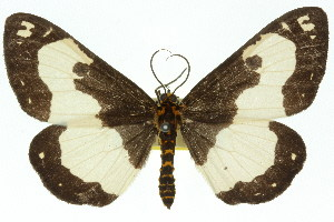 (Abraxas flavimacula - 11ANIC-02698)  @15 [ ] CreativeCommons - Attribution Non-Commercial Share-Alike (2011) CSIRO/BIO Photography Group Centre for Biodiversity Genomics