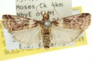 (Conobathra sp. ANIC1 - 11ANIC-03016)  @13 [ ] CreativeCommons - Attribution Non-Commercial Share-Alike (2011) CSIRO/BIO Photography Group Centre for Biodiversity Genomics