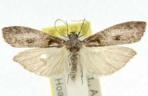 (Copamyntis prays - 11ANIC-03165)  @14 [ ] CreativeCommons - Attribution Non-Commercial Share-Alike (2011) CSIRO/BIO Photography Group Centre for Biodiversity Genomics