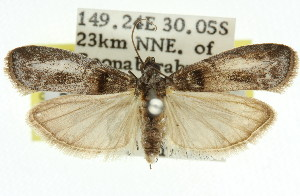 (Copamyntis prays - 11ANIC-03166)  @14 [ ] CreativeCommons - Attribution Non-Commercial Share-Alike (2011) CSIRO/BIO Photography Group Centre for Biodiversity Genomics