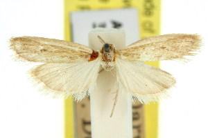 (Anerastia metallactis - 11ANIC-03777)  @11 [ ] CreativeCommons - Attribution Non-Commercial Share-Alike (2011) CSIRO/BIO Photography Group Centre for Biodiversity Genomics