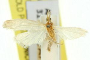 (Heosphora tanybela - 11ANIC-03797)  @11 [ ] CreativeCommons - Attribution Non-Commercial Share-Alike (2011) CSIRO/BIO Photography Group Centre for Biodiversity Genomics