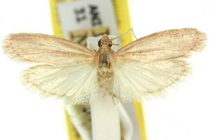 (Heosphora ablepta - 11ANIC-03804)  @11 [ ] CreativeCommons - Attribution Non-Commercial Share-Alike (2011) CSIRO/BIO Photography Group Centre for Biodiversity Genomics
