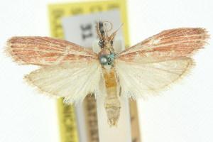 (Heosphora virginella - 11ANIC-03806)  @11 [ ] CreativeCommons - Attribution Non-Commercial Share-Alike (2011) CSIRO/BIO Photography Group Centre for Biodiversity Genomics