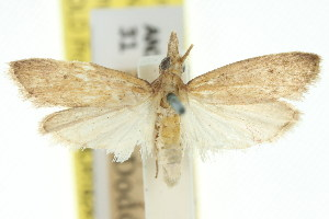 (Emmalocera ctenucha - 11ANIC-03824)  @11 [ ] CreativeCommons - Attribution Non-Commercial Share-Alike (2011) CSIRO/BIO Photography Group Centre for Biodiversity Genomics