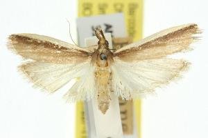(Emmalocera haploschema - 11ANIC-03837)  @11 [ ] CreativeCommons - Attribution Non-Commercial Share-Alike (2011) CSIRO/BIO Photography Group Centre for Biodiversity Genomics