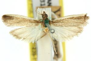 (Emmalocera niphosema - 11ANIC-03839)  @11 [ ] CreativeCommons - Attribution Non-Commercial Share-Alike (2011) CSIRO/BIO Photography Group Centre for Biodiversity Genomics