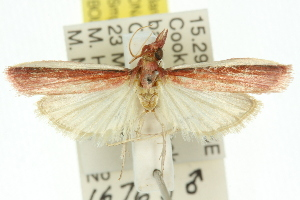 (Emmalocera callirrhoda - 11ANIC-03848)  @14 [ ] CreativeCommons - Attribution Non-Commercial Share-Alike (2011) CSIRO/BIO Photography Group Centre for Biodiversity Genomics
