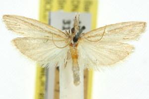 (Emmalocera biseriella - 11ANIC-03855)  @11 [ ] CreativeCommons - Attribution Non-Commercial Share-Alike (2011) CSIRO/BIO Photography Group Centre for Biodiversity Genomics