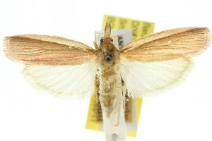(Emmalocera longiramella - 11ANIC-03856)  @11 [ ] CreativeCommons - Attribution Non-Commercial Share-Alike (2011) CSIRO/BIO Photography Group Centre for Biodiversity Genomics
