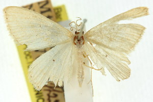 (Idaea euclasta - 11ANIC-06081)  @11 [ ] CreativeCommons - Attribution Non-Commercial Share-Alike (2011) CSIRO/BIO Photography Group Centre for Biodiversity Genomics