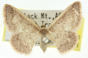 (Idaea nephelota - 11ANIC-06104)  @14 [ ] CreativeCommons - Attribution Non-Commercial Share-Alike (2011) CSIRO/BIO Photography Group Centre for Biodiversity Genomics