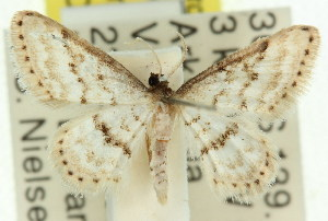 (Idaea sp. ANIC1 - 11ANIC-06109)  @13 [ ] CreativeCommons - Attribution Non-Commercial Share-Alike (2011) CSIRO/BIO Photography Group Centre for Biodiversity Genomics