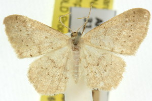 (Idaea epicyrta - 11ANIC-06116)  @11 [ ] CreativeCommons - Attribution Non-Commercial Share-Alike (2011) CSIRO/BIO Photography Group Centre for Biodiversity Genomics