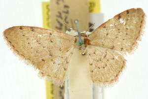 (Idaea trissorma - 11ANIC-06118)  @11 [ ] CreativeCommons - Attribution Non-Commercial Share-Alike (2011) CSIRO/BIO Photography Group Centre for Biodiversity Genomics