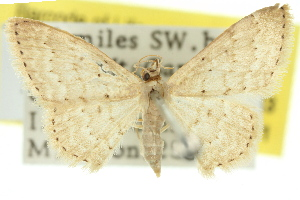 (Idaea lucida - 11ANIC-06143)  @11 [ ] CreativeCommons - Attribution Non-Commercial Share-Alike (2011) CSIRO/BIO Photography Group Centre for Biodiversity Genomics