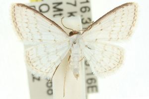 (Idaea argophylla - 11ANIC-06156)  @14 [ ] CreativeCommons - Attribution Non-Commercial Share-Alike (2011) CSIRO/BIO Photography Group Centre for Biodiversity Genomics