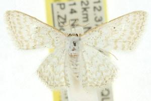 (Idaea chloristis - 11ANIC-06163)  @14 [ ] CreativeCommons - Attribution Non-Commercial Share-Alike (2011) CSIRO/BIO Photography Group Centre for Biodiversity Genomics